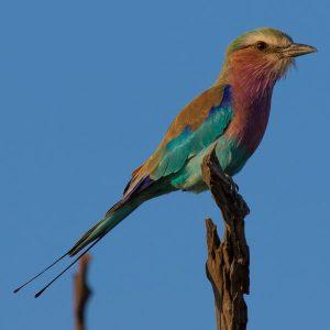 A Botswana Safari