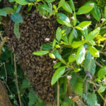 Guernsey Honeybees