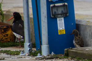 Oyster Catcher and chick at Southwold harbour
