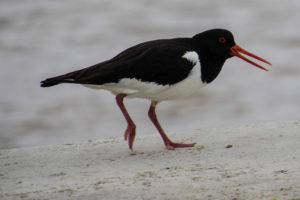 Oyster Catcher at Southwold harbour